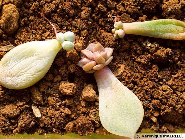 plante grasse bouturage
