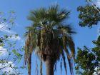 Palmier bleu du Mexique, Brahea armata