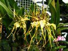 Orchidée araignée, Brassia