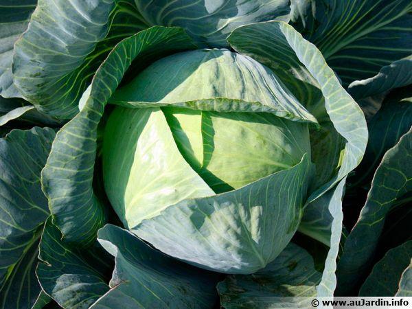 Chou pomm�, Chou cabus, Brassica oleracea var. capitata