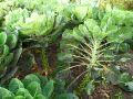 Chou de Bruxelles, Brassica oleracea var. gemmifera