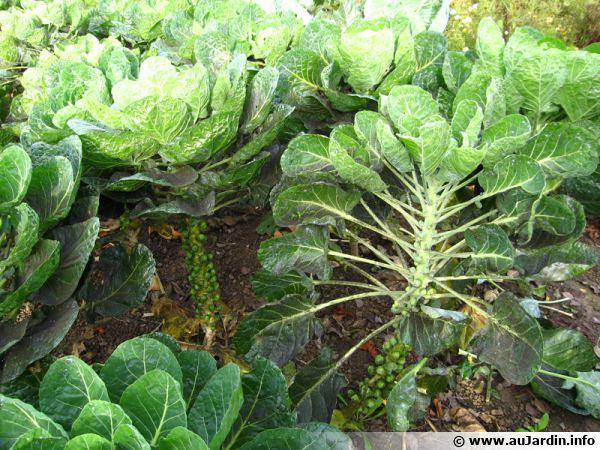 Chou de bruxelles planter cultiver r colter - Choux de bruxelles plantation ...