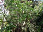 Trompette du jugement, Trompette des anges, Datura, Brugmansia arborea