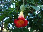 Trompette du jugement écarlate, Trompette des anges écarlate, Datura écarlate, Brugmansia sanguin, Brugmansia sanguinea