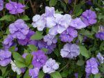 Jasmin des îles, Brunfelsia australis