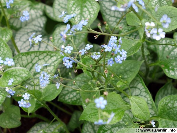Myosotis du Caucase, Buglosse de Sibérie, Brunnera macrophylla 'Jack Frost'