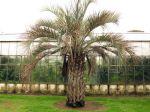 Palmier abricot, Butia capitata