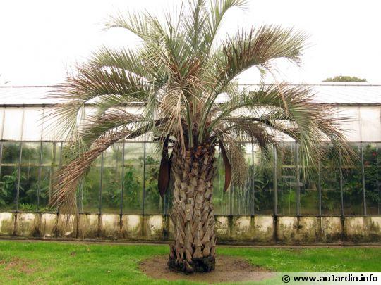 palmier abricot arbre laque butia capitata. Black Bedroom Furniture Sets. Home Design Ideas