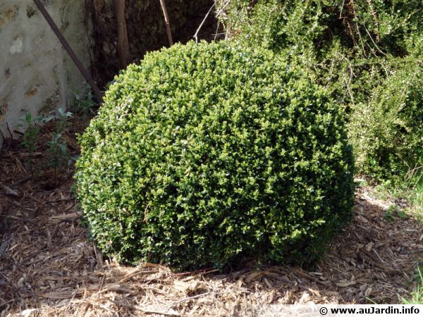 Le buis commun, plante la plus connue de la famille des Buxacées
