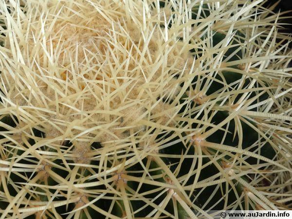Un cactus çà pique ! Mais à quoi servent leurs épines ou aiguillons ?