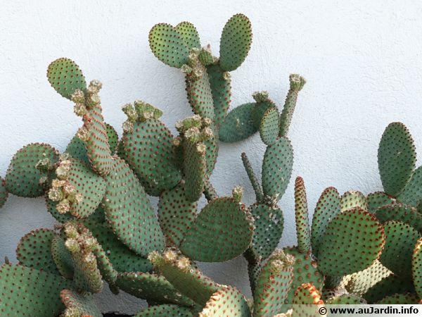 Un cactus raquette est plutôt aisé à bouturer