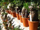 Les parasites des cactus