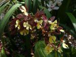 Calanthe hybride