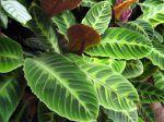 Plante paon, Calathea