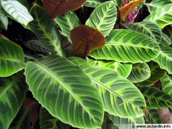 Plante paon calathea conseils de culture for Site de plante