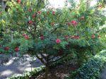 Arbre à houppettes, Calliandre, Calliandra haematocephala