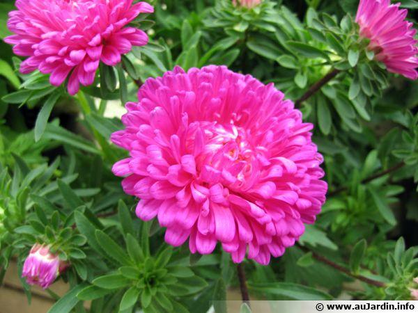 Reine Marguerite Callistephus Chinensis Planter Cultiver