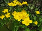 Souci d'eau, Populage, Caltha palustris
