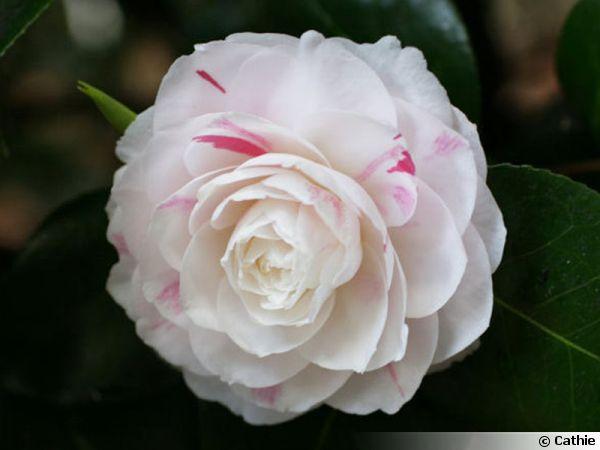 Camellia 'Madame Cachet'