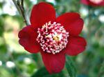 Camélia du japon, Camellia japonica