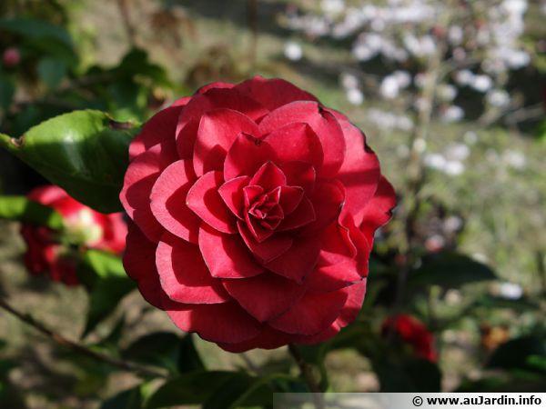 Attendez la fin de la floraison pour tailler votre camélia si nécessaire