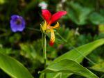 Balisier d'Inde botanique, Canna comestible, Canna brasiliensis