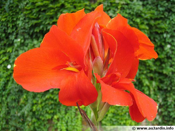 Un canna aux fleurs rouges flamboyantes !