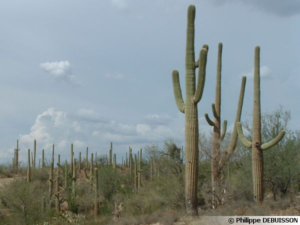 Le parc national de Saguaro (USA, Arizona)