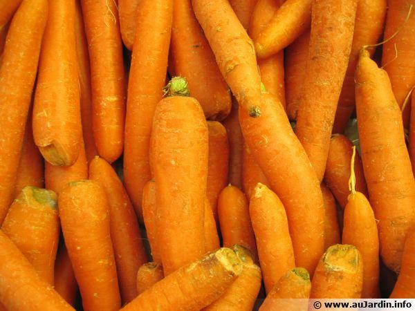 Carottes primeurs au rayon légumes