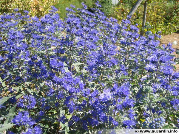 Spiree Bleue Barbe Bleue Caryopteris Planter Cultiver Multiplier