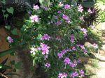 Pervenche, Catharanthus roseus, Vinca rosea