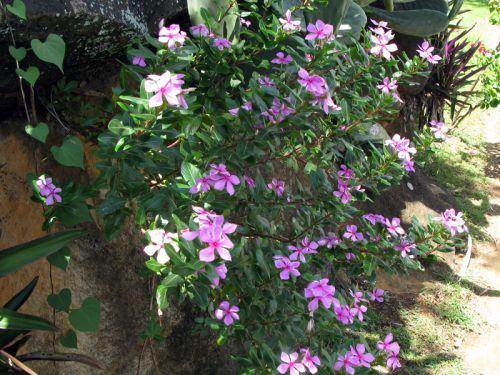 Pervenche de madagascar catharanthus roseus conseils de for Plante 150 maladies madagascar