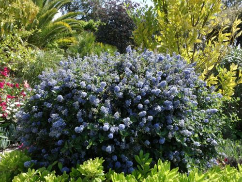 ceanothe lilas de californie ceanothus planter cultiver. Black Bedroom Furniture Sets. Home Design Ideas