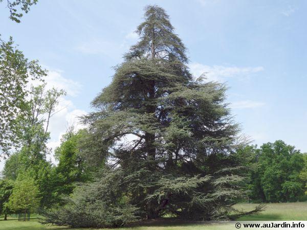 C dre de l atlas cedrus atlantica conseils de culture - Cedre bleu du liban ...