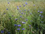 Des Bleuet des champs dans un champ, Centaurea cyanus