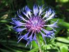 Centaurée des montagnes, Bleuet vivace, Centaurea montana