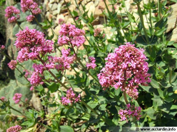 Valériane rouge, Centranthe rouge, Lilas d'espagne, Centranthus ruber