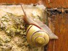 Escargots des bois, Cepae nemoralis