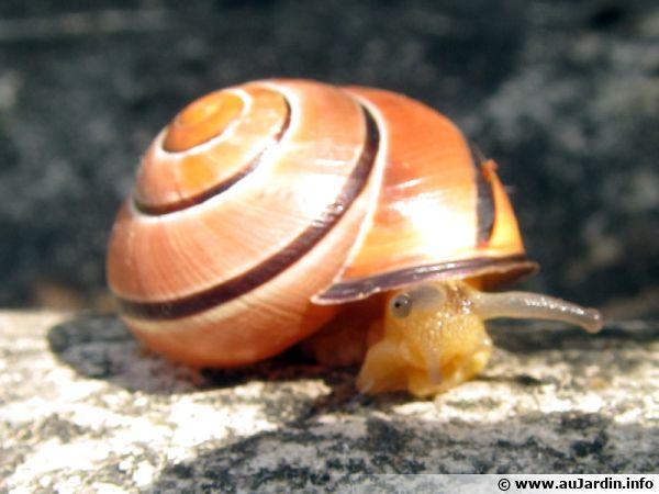 Escargots des bois, Cepaea nemoralis