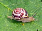 Escargot des bois, Cepaea nemoralis