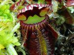 Cruche à eau d'Albany, Cephalotus follicularis