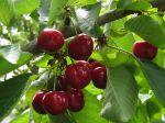 Questions fréquentes sur le cerisier