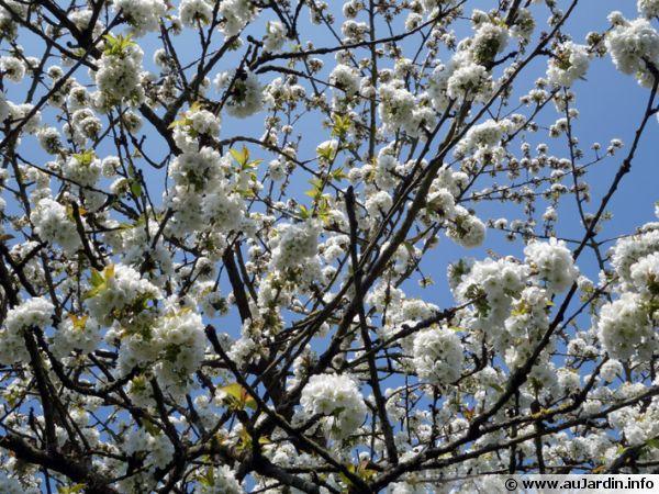 Cerisier en fleurs au printemps