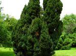 Chamaecyparis lawsoniana 'Ellwoodii'
