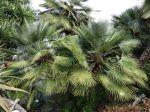 Palmier nain, Palmier de Méditerranée, Chamaerops humilis