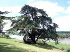 Un cèdre dans le parc du château de Chaumont sur Loire