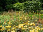 Le Chemin du Petit Poucet au château du Rivau avec associations de plantes sur le thème du jaune. Au premier plan roses jaune yellow fleurette et Eremurus Cleopatre