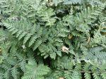 Fougère laineuse, Cheilanthes lanosa