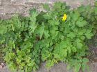 Grande Chélidoine, Herbe aux verrues, Grande éclaire,  Chelidonium majus