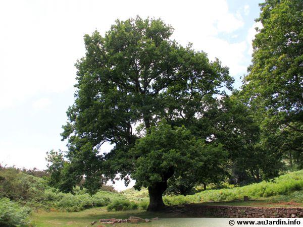 Un chêne majestueux ou il fait bon de se retrouver... conter des histoires...